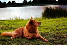 A Lovely Dog Of Breed The Finn...