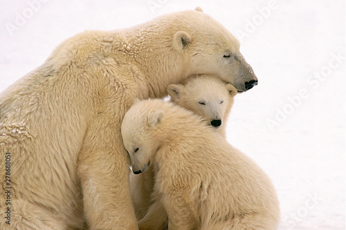 Photo sur Aluminium Ours Blanc polar bear on white background