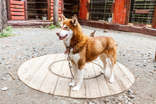Red Husky Dog On A Leash In A Kennel Shelter