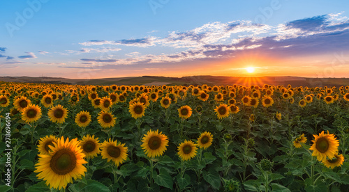 Fototapeta Sunset over field of sunflowers obraz na płótnie