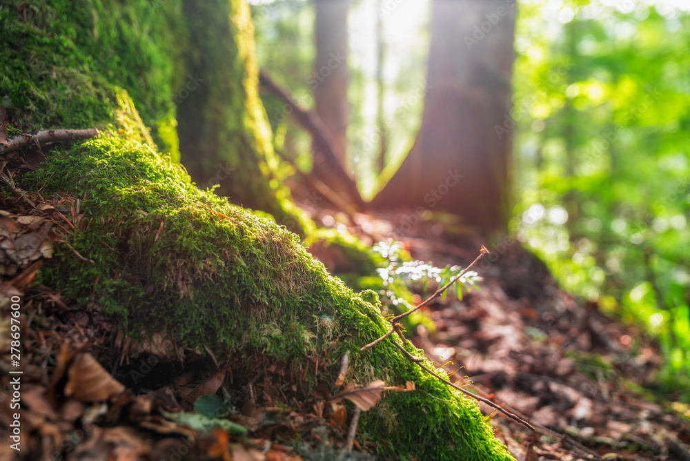 Fototapety, obrazy: sun-rays on the forest ground