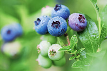 Organic Blueberries In Raindro...