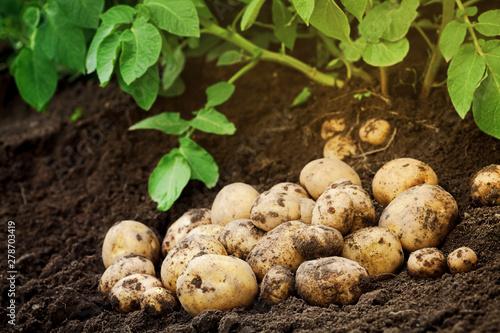 Heap of fresh potato on the ground. Organic farming products Fototapete