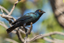 Red-shouldered Glossy-starling - Lamprotornis Nitens, Beautiful Glossy Blue Perching Bird From African Savannas, Namibia.