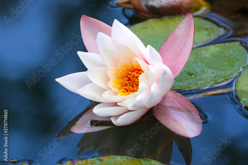 Stickers pour portes Nénuphars Closeup shot of white lotus (water lily) on surface of pond or lake