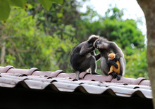 Leaf Monkeys Are Caring Yellow...