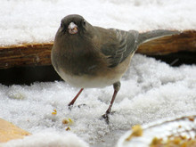 Close-up Of A Dark Eyed Junco ...