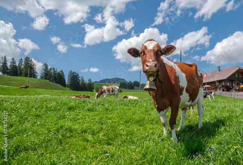 Canvas Prints Cow Cow with cowbell in an alpine meadow in the swiss alps in front of a farm with swiss flag