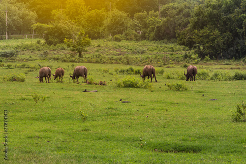 Aluminium Prints Asian Buffaloes