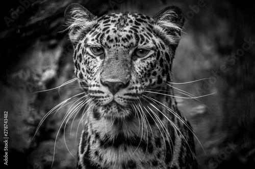 Poster Leopard Leopard close up