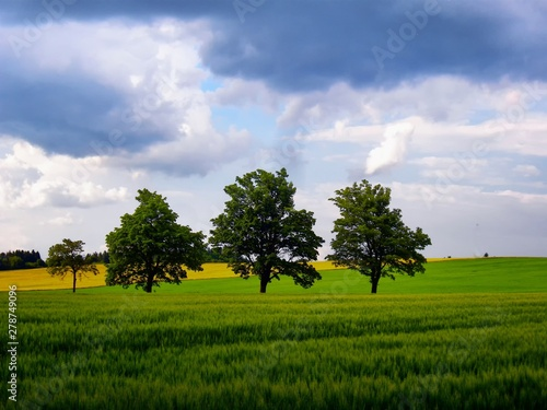 Fotografia, Obraz  Soltary broad leaf trees among agriculture fields