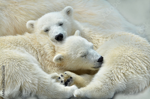 Photo sur Toile Ours Blanc polar bear on white background