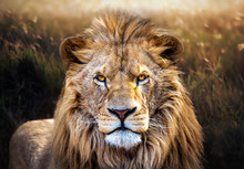 Lion Eye Contact