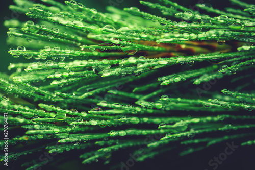Green coniferous tree close-up. Water drops after rain