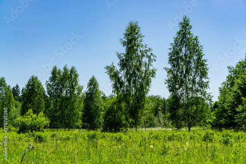 Separately growing birch trees among evergreen trees in forest glade among wildflowers. Beautiful landscape in Moscow region.Beauty of ecologically pure Russian nature. Relaxation and meditation.