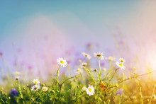 Daisies And Wild Flowers On Grassy Meadow At Sunset.