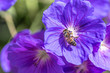 canvas print picture - Honeybee collecting nectar pollen from a purple Geranium Rozanne, also known as Gerwat or JollyBee