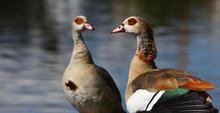 A Couple Of Egyptian Goose, Al...