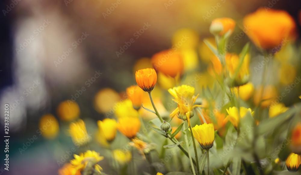 Fototapety, obrazy: Orange flowers of calendula