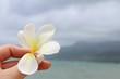 frangipani flower on the beach