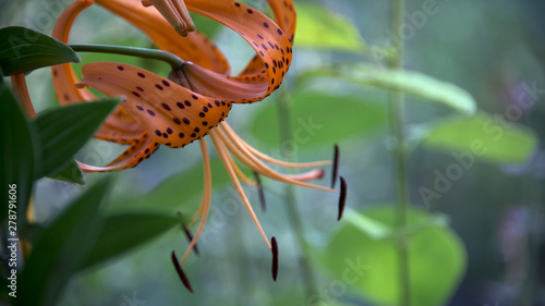 Valokuva  Tiger lily