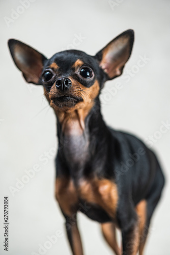 Obraz Portrait of a toy terrier in the studio on a gray background. - fototapety do salonu