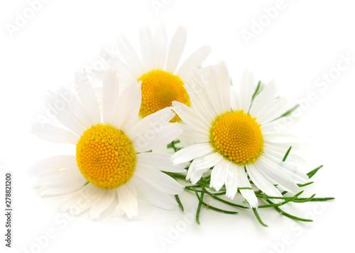 Foto auf Leinwand Blumen Chamomiles on white background