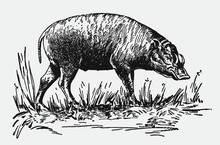 Threatened Buru Babirusa Babyrousa Babyrussa Standing In A Grassy Landscape. Illustration After A Historical Engraving From The Early 20th Century
