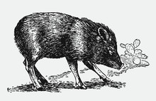 Collared Peccary Pecari Tajacu In Side View In Front Of A Cactus Plant. Illustration After A Historical Engraving From The Early 20th Century