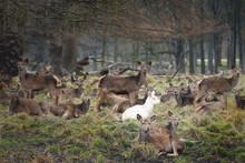 Albino Deer In Group Resting Near Trees