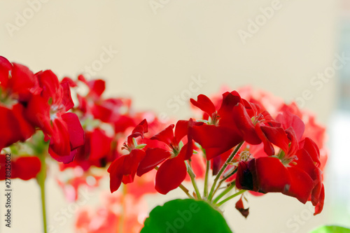 Photo flowers and leaves of geranium on a clear sunny day in summer