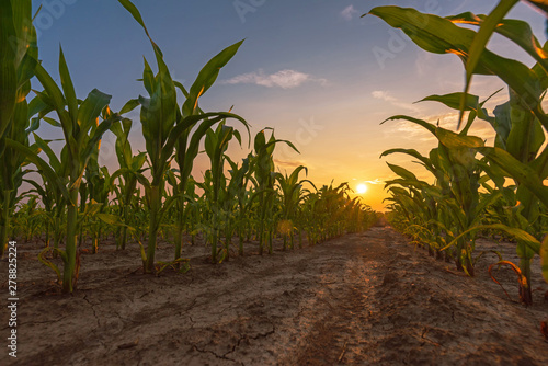 Fotografering Corn field in sunset
