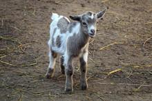 Young Goat/ Calf - Farm Animal