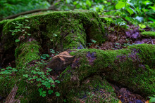 A Large Stump Covered With Thick Green Moss In The Forest. Fabulous View. Close-up.