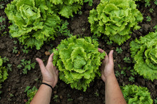 From Above Big Green Lettuce I...