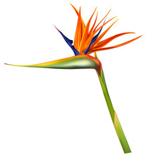 Strelitzia Reginae, Bird Of Pa...