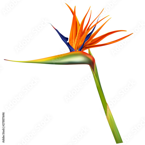 Fotografía  Strelitzia reginae, bird of paradise or crane flower realistic vector illustration