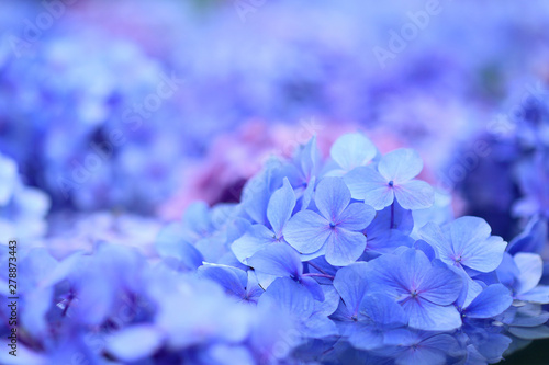 Cadres-photo bureau Hortensia 紫陽花 青い花