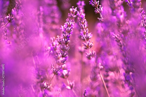Fototapety, obrazy: Field of Purple Lavender