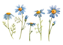 Watercolor Blue Chamomile Daisy Flower
