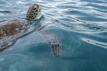 Green Sea Turtle Ascends To The Surface To Breathe. Sea Turtles Can Hold Their Breath For Several Hours, Depending Upon The Level Of Activity. A Sleeping Turtle Can Remain Underwater Up To Seven Hours