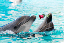 Two Dolphins Swim In The Pool ...