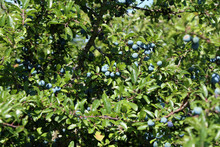 Closeup Of Fruits Of The Natural Herb Blackthorn