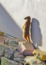 View Of Meerkats (suricate Suricata Suricatta)