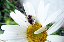 Crab Spider Biting Into A Bee On A Daisy
