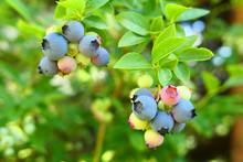 Highbush Blueberry Plant With ...