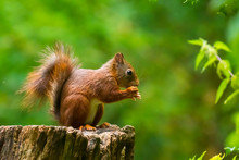 Closeup Of A Eurasian Red Squirrel, Sciurus Vulgaris, Eating Nuts In A Forest.