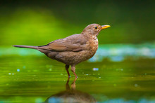 Closeup Of A Common Blackbird Female, Turdus Merula Washing, Preening, Drinking And Cleaning In Water.