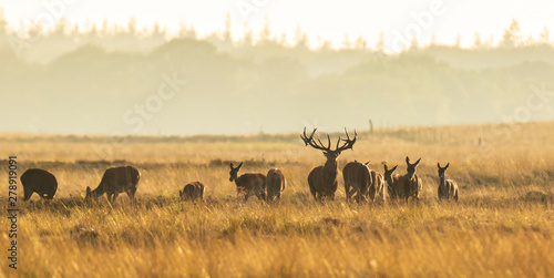 Poster Hert Herd of red deer cervus elaphus rutting and roaring during sunset