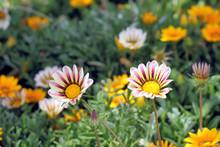 Colorful Flowers Gazania Selec...